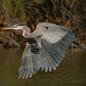 In Flight by Dave . - Animals Birds ( great blue heron, bird, water, wild, nature, wildlife, heron, pond )