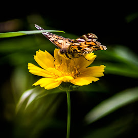 Guarding the Sweetness by Janice Mcgregor - Animals Other ( butterfly, greens, detail, guarding, yellow, insect, spring, macro, wings, outdoors, summer, flower, outside )