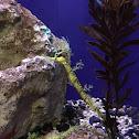 Ribboned Seadragon