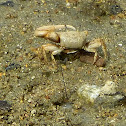 Mexican Fiddler Crab (Male)