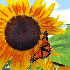 Summer Glow by Corinne Noon - Nature Up Close Flowers - 2011-2013 ( nature, monarch, sunflower, august, summer, flower )