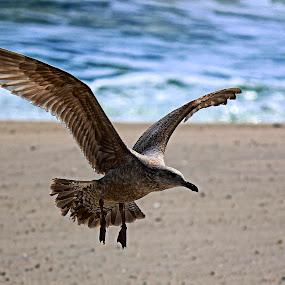 Seagull in flight by Cheryl Thomas - Animals Birds ( water, wings, seagulls, beach, birds )