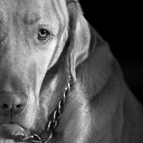 Max by David Vanveen - Animals - Dogs Portraits ( animals, dogs, black and white, cute )