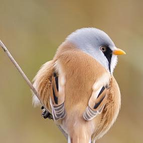 Male Bearded Tit by Charlie Davidson - Animals Birds ( bird, scotland, uk, animals, nature, outdoors, wildlife )
