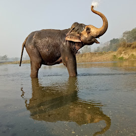 Elephant Bathing  by Chudamani Chaudhary - Uncategorized All Uncategorized