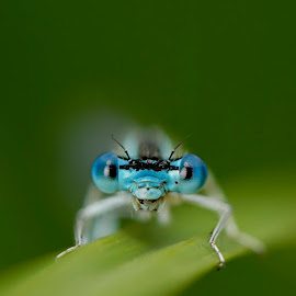 I stare! by Bencik Juraj - Animals Insects & Spiders ( dragonfly, insect, close up )