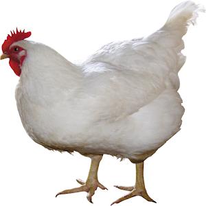 APK Game 순실이 닭 키우기 for iOS