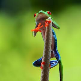 climbing by Ajar Setiadi - Animals Amphibians