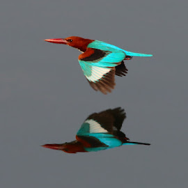 Freeze Moment by Nikhil Jahagirdar - Animals Birds ( mirror, breasted, colors, freeze, white, kingfisher, superb, action, image, shot,  )