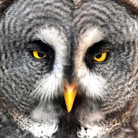 Owl by Stanley P. - Animals Birds ( owl, birds )