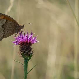 Butterfly by Nick Vanderperre - Animals Insects & Spiders ( de korrel nog, 2018, website, natuur, a12-ring )
