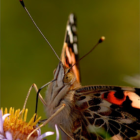 Painted lady by Deb Dicker - Animals Insects & Spiders ( butterfly, macro, nature, close up,  )