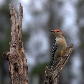by Anita Frazer - Animals Birds ( bird, red-bellied, tree branch, woodpecker, animal,  )