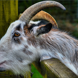 Goat by Nic Scott - Animals Other Mammals ( goats, goat, animal )