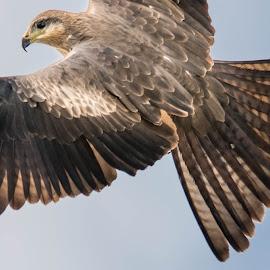 Black Kite by Kelly Gordon - Animals Birds ( birds of prey, animals, nature, wildlife, birds,  )