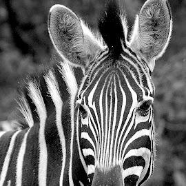 Zebra by Gérard CHATENET - Black & White Animals