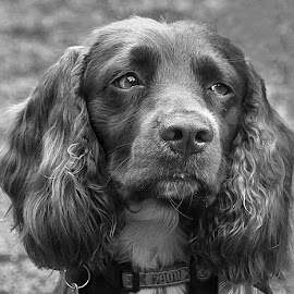 B&W Beau by Chrissie Barrow - Black & White Animals ( monochrome, black and white, cocker spaniel, pet, grey, dog, mono, portrait, animal )