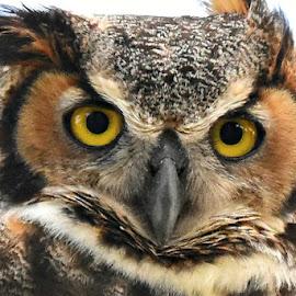 Big eyed owl by Ruth Overmyer - Animals Birds
