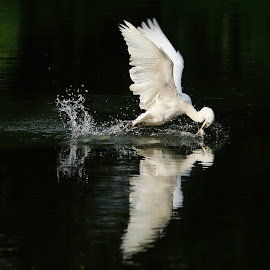 Catching by Stanley Loong - Animals Birds ( mirrored reflections, water, dancing, flying, reflection, catch, birds )
