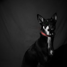 by Angelo Derderian - Animals - Dogs Portraits ( old, red, doggy, greed eyes, white, dog, black, fear, eyes )