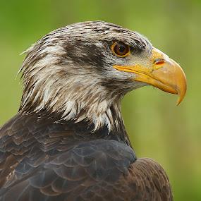 Eagle profile by Gérard CHATENET - Animals Birds