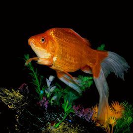 Giant Goldfish by Janna Morrison - Animals Fish