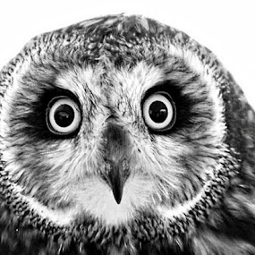 Owl by Nancy Young - Black & White Animals ( face, black and white, owl, eyes,  )