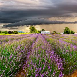 Lavender Farm New Zealand by Anupam Hatui - Landscapes Prairies, Meadows & Fields ( field, farm, landscape, padies, new zealand, lavenders )