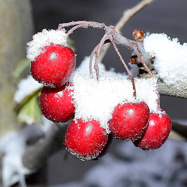 Mountain ash berries. by Denton Thaves - Nature Up Close Trees & Bushes ( mountain ash )