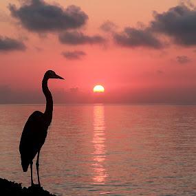 Great Blue Heron by Michel Lapensée - Landscapes Sunsets & Sunrises ( bird, sunrays, sunrise, sun )