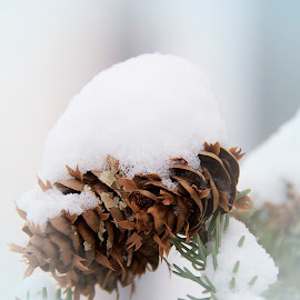 Pinecone by Lynne Brewer - Nature Up Close Trees & Bushes ( pinecone, cold, beautiful, snow, white )