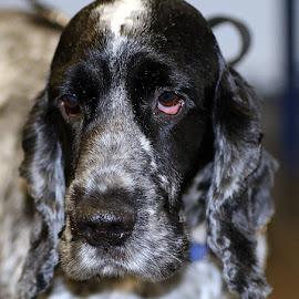 Alfie by Chrissie Barrow - Animals - Dogs Portraits ( cocker spaniel, male, white, portrait, eyes, short, pet, whiskers, fur, ears, grey, dog, nose, black )