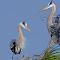 Great Blue Heron 218.jpg