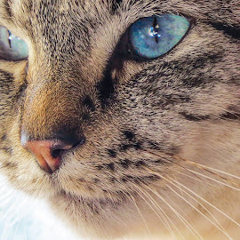Ol' Blue Eyes by Theo Collett - Animals - Cats Portraits ( natural lighting, cat's eyes, blue eyes, felines )