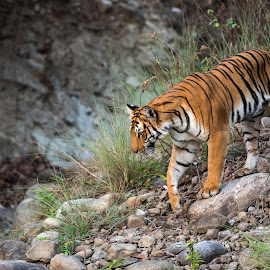 Cat Walk by Ganesh Namasivayam - Animals Lions, Tigers & Big Cats ( tigress, corbett tiger reserve, dhikala, tiger, paarwali, paarwali tigress )