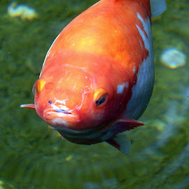The mob is upon you... by Daniela Fluerasu - Animals Fish ( strange, orange, fish )