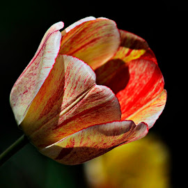 Multi coloured Tulip by Bernadette Mueller - Novices Only Flowers & Plants