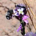 Solitary Bee; Avispa solitaria