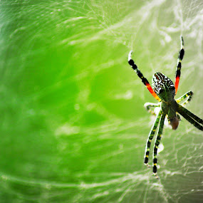 Spider by Luthfi Hidayat - Animals Insects & Spiders