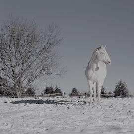 Miss Daisy by Linda    L Tatler - Animals Horses