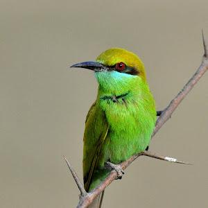Green Bee Eater orientalis pixoto.jpg