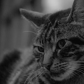 My close up by Helen Andrews - Animals - Cats Portraits ( #cat #tabby #nuzzle #pet #gorgeous )