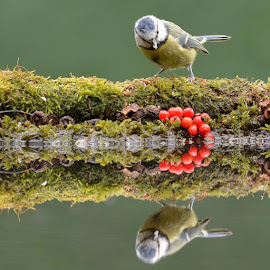 Blue tit by Susannah Ross - Animals Birds ( bird, reflection, yellow, beauty, pond, blue tit )