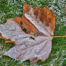 Frosty Autumn by Marco Bertamé - Nature Up Close Leaves & Grasses ( leave, grass, autumn, green, fall, frost, brown )