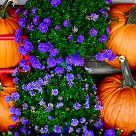4 pumpkins in a patch of purple mums. by Peter DiMarco - Public Holidays Halloween ( orange, pumpkin, pumpkins, purple flower, halloween )