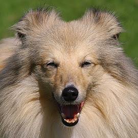 Raffi by Chrissie Barrow - Animals - Dogs Portraits ( tongue, long hair, mouth, pet, male, fur, ears, dog, sheltie, nose, cream, portrait, eyes )