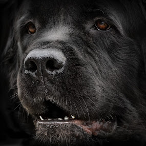 Out of the Shadows by Sheen Deis - Animals - Dogs Portraits ( dogs, newfoundlands, pets, portraits, , #GARYFONGDRAMATICLIGHT, #WTFBOBDAVIS )