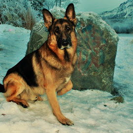 Sitting Pretty by Patricia Phillips - Animals - Dogs Portraits ( winter dogs german shepherds )