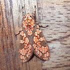 Gaudy Leopard Moth