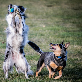 by Steve Wieseler - Animals - Dogs Playing